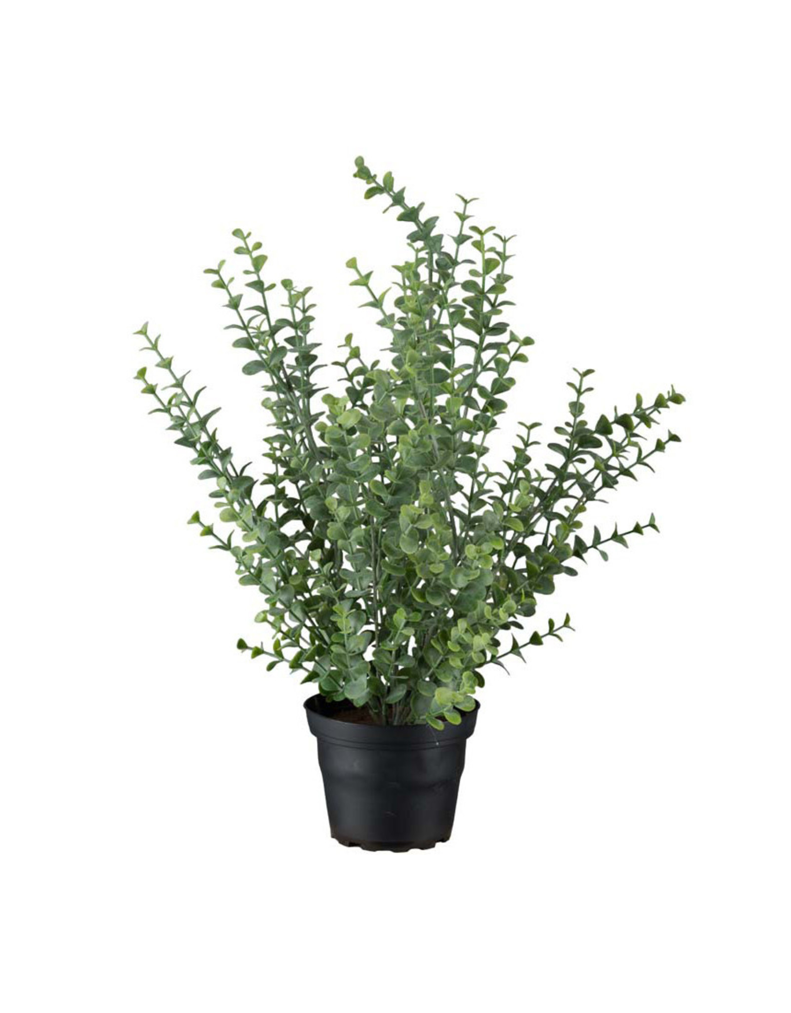 Mr Plant Mr Plant - Eucalyptus