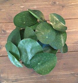 Mr Plant Mr Plant - Elefantora
