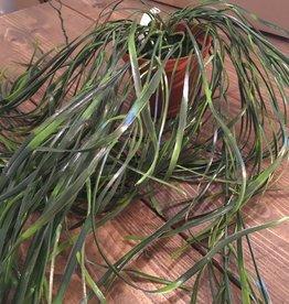 Mr Plant Mr Plant - Hoya