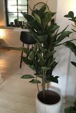 Mr Plant Mr Plant - Fikus Robusta