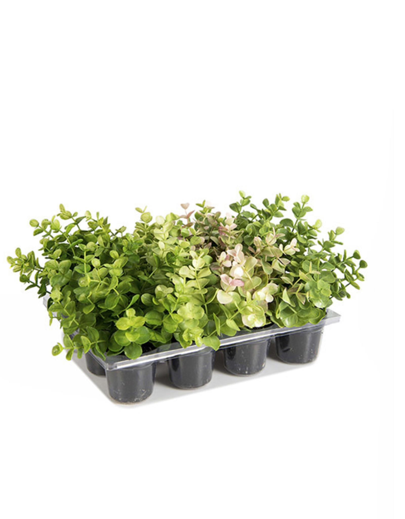 Mr Plant Mr Plant - Eucalyptus mix