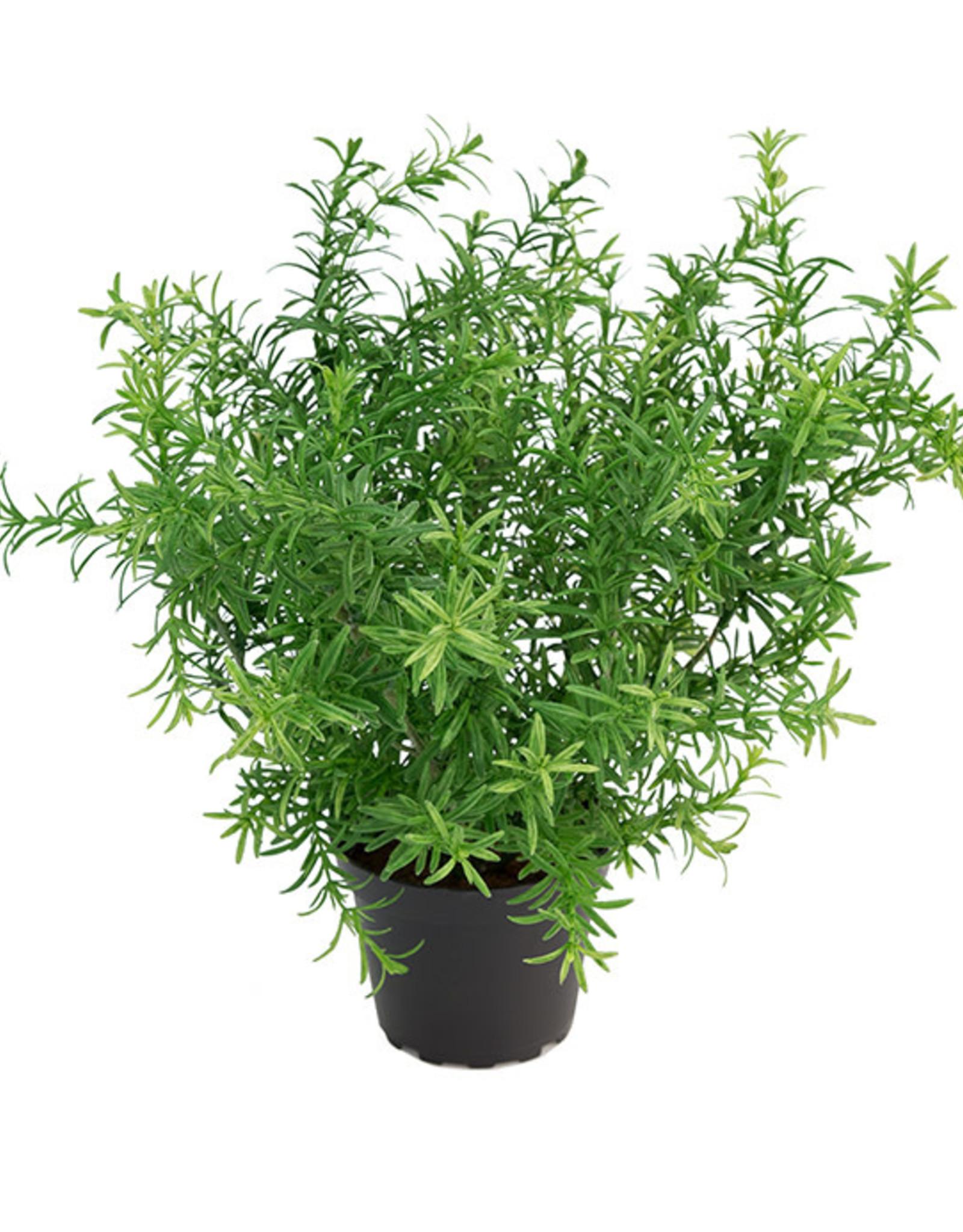 Mr Plant Mr-Plant - Asparagus