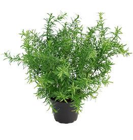 Mr Plant Mr-Plant asparagus
