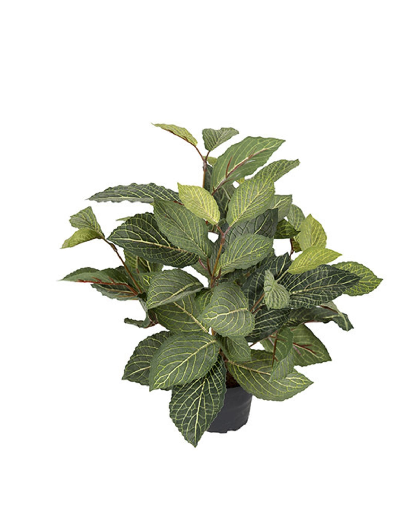 Mr Plant Mr Plant - Fittonia