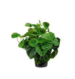 Mr Plant Mr Plant - Peperomia light green