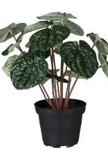 Mr Plant Mr Plant - Peperomia
