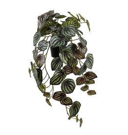 Mr Plant mr plant- Peperomia