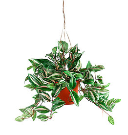 Mr Plant Mr plant- Tradescantia