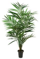 Mr Plant Mr Plants - Kentia Palm