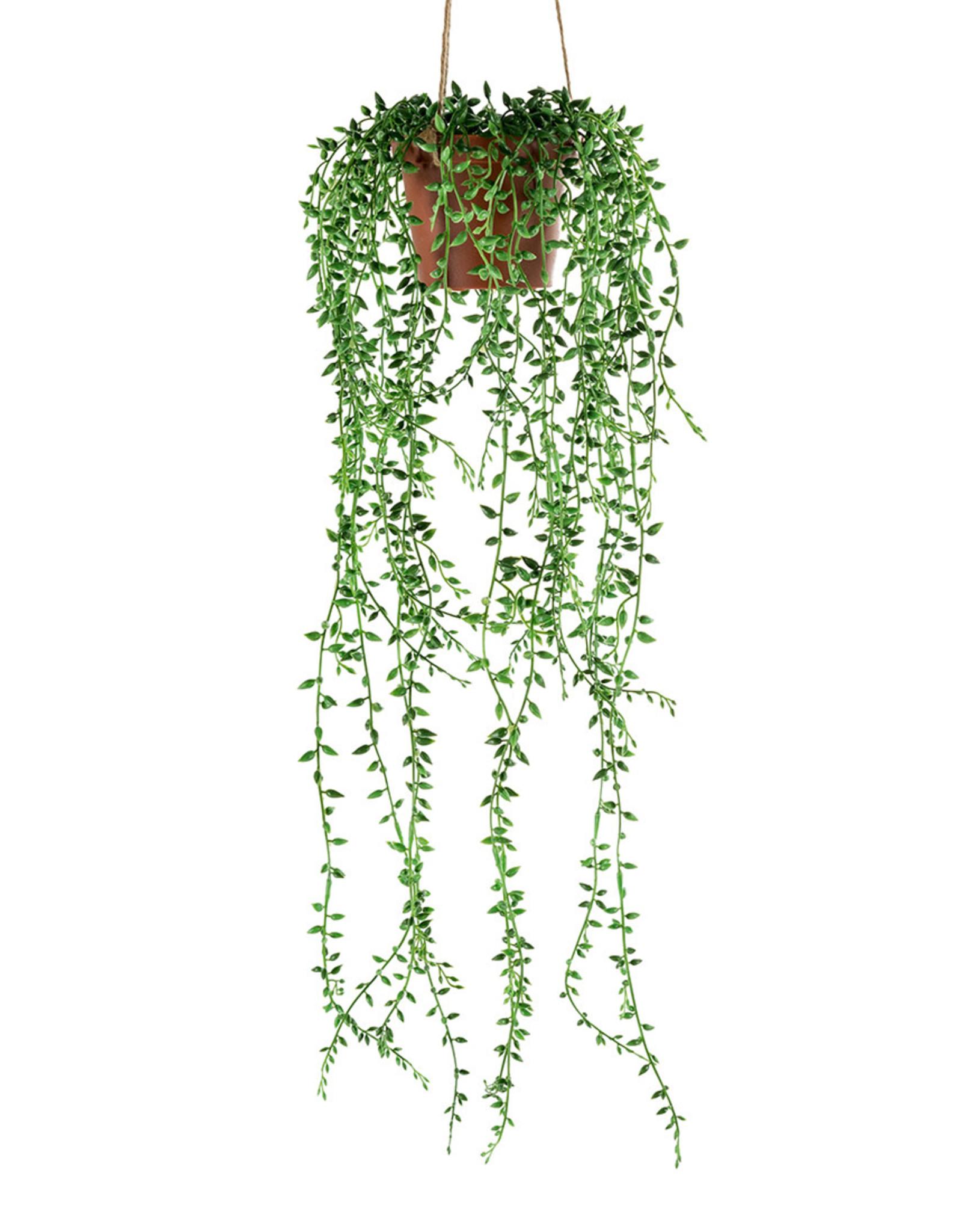 Mr Plant Mr Plant - Senecio