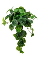 Mr Plant Mr Plant - Peperomia hangend plant