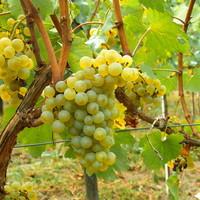 Chardonnay wijnen: druifje van plezier