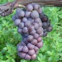 De Pinot Gris wijnen: vele namen, kleuren en smaken