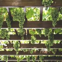 Vegan wijn: alles wat je wilt weten over veganistische wijn!
