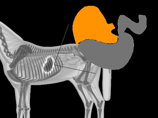 Maagzweer paard: helaas zien veel mensen de ernst niet