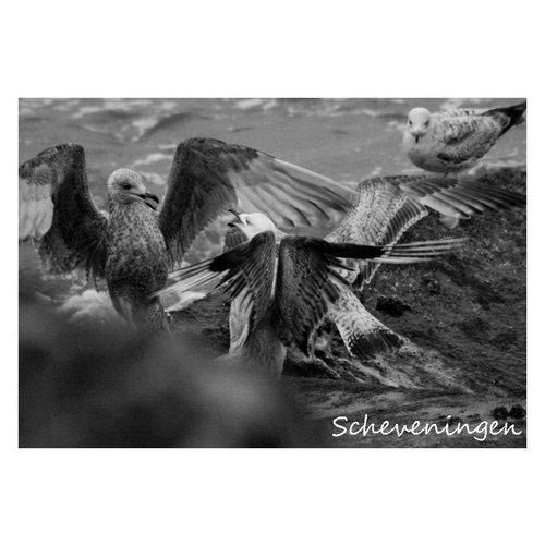 Ivooosterbaan Ivooosterbaan Scheveningen Birds Postcard