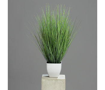Siergras Isolepsis in pot | 60cm