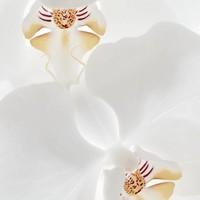 Sacred Elephant Incense Spécialiste - White Orchid