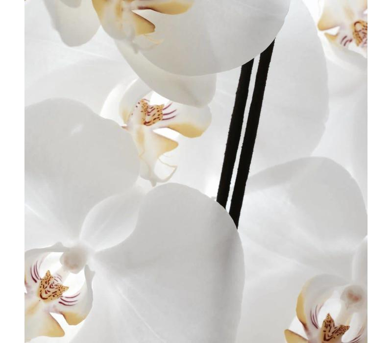 Sacred Elephant Wierook Spécialiste - White Orchid