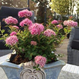 Spiraea japonica 'Odessa' ® PBR