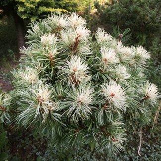 Pinus parviflora 'Tanima-no-yuki'