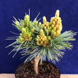 Pinus flexilis 'Lill Wolf'