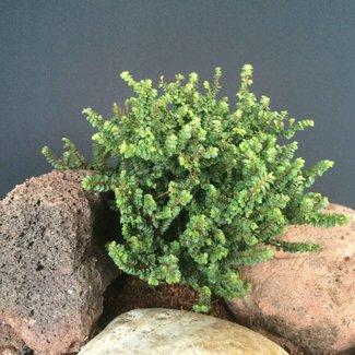 Ulmus parviflora 'Hokkaido'