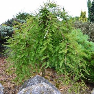 Taxodium disstichum 'Cascade Falls'