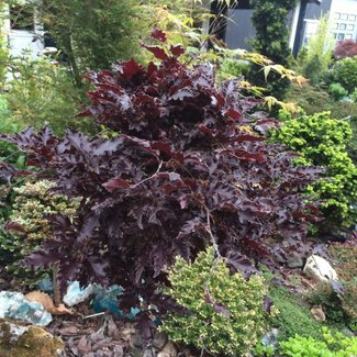 Fagus sylvatica 'Rohan Red Weeping'