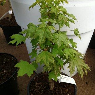 Acer platanoides 'Novusch'