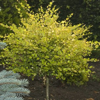 Betula nana 'Golden Treasure'