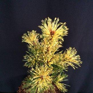 Pinus parviflora 'Ogon-janome'