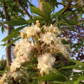 Aesculus hippocastanum pumila