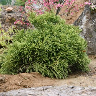 Cryptomeria japonica 'Little Champion'