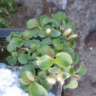Salix x jezoensis alpina