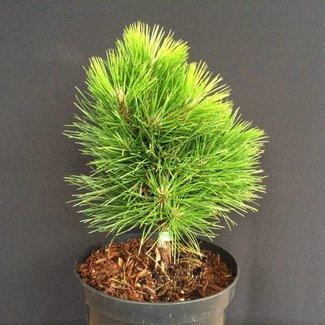 Pinus tabuleaformis 'Shenyang'
