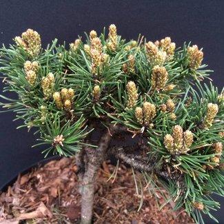 Pinus mugo 'Smartak'