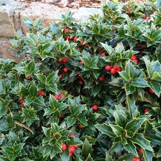 Ilex aquifolium 'Rockgarden'