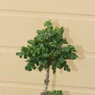 Quercus cerris 'Curley Head'