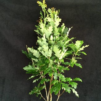 Quercus robur 'Menhir'