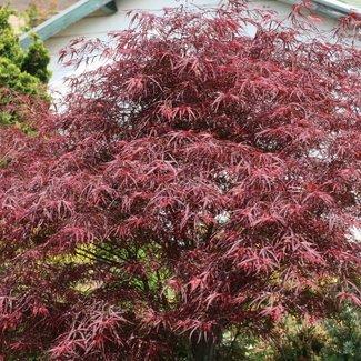 Acer palmatum 'Red Pygmy'