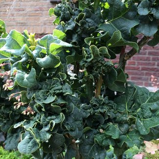 Quercus robur 'General Pulaski'