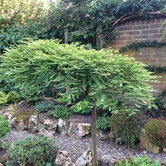 Metasequoia glyptostroboides 'Miss Grace'