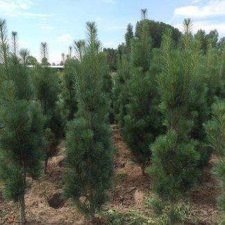 Pinus strobus 'Stowe Pillar'