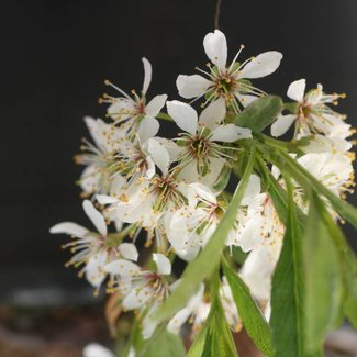 Prunus pumila depressa