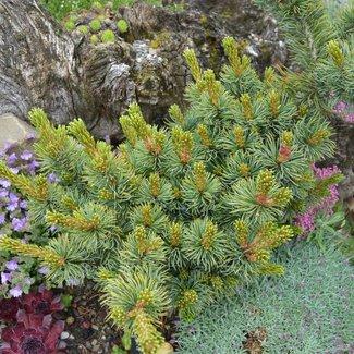 Pinus flexilis x parviflora 'Maribo'
