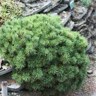 Pinus mugo 'Mini Mops'