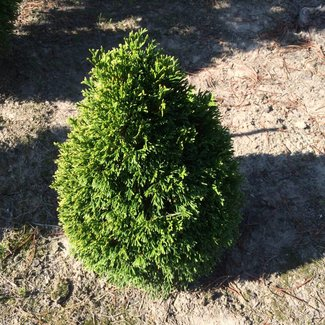 Thuja occidentalis 'Maks'