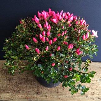 Rhododendron obtusum 'Anouk'