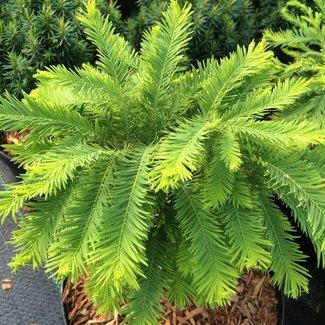 Taxodium disstichum 'Philly Boxer'